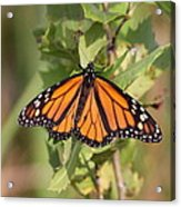 Butterfly - Monarch - Resting Acrylic Print