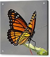 Butterfly - Sitting On The Green Acrylic Print