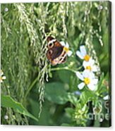 Butterfly 11 Acrylic Print