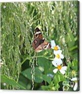 Butterfly 14 Acrylic Print