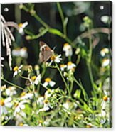 Butterfly 17 Acrylic Print