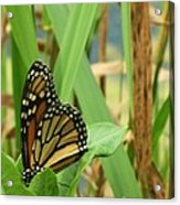 Butterfly-2 Acrylic Print