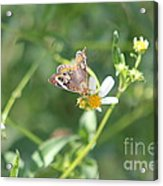 Butterfly 21 Acrylic Print