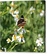 Butterfly 23 Acrylic Print