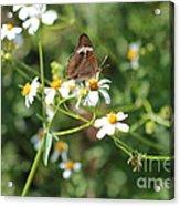 Butterfly 24 Acrylic Print
