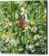 Butterfly 30 Acrylic Print