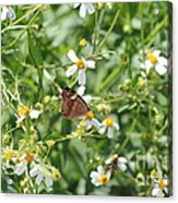 Butterfly 32 Acrylic Print
