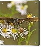 Butterfly 3319 Acrylic Print