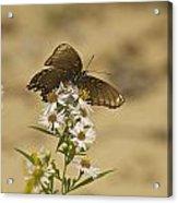 Butterfly 3322 Acrylic Print