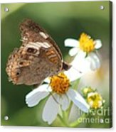 Butterfly 39 Acrylic Print