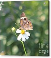Butterfly 42 Acrylic Print