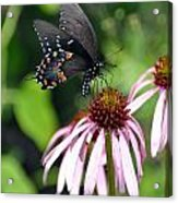 Butterfly And Coine Flower Acrylic Print