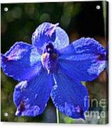 Butterfly Blue Acrylic Print
