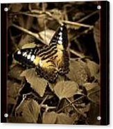 Butterfly Brown Acrylic Print