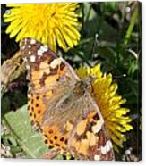 Butterfly In The Sun Acrylic Print