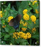 Butterfly Lantana Acrylic Print