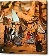 Butterfly Menagerie Acrylic Print