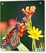 Butterfly Monarch On Lantana Flower Acrylic Print