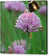 Butterfly On Clover Acrylic Print