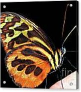 Butterfly On Finger Acrylic Print
