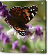 Butterfly On Lavender II Acrylic Print