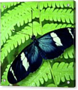 Butterfly On Leaf. Acrylic Print by Kryssia Campos