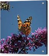 Butterfly On Lilac 2 Acrylic Print