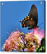 Butterfly On Mimosa Blossom Acrylic Print
