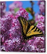 Butterfly On Pink Lilac Acrylic Print