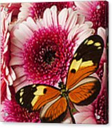 Butterfly On Pink Mum Acrylic Print