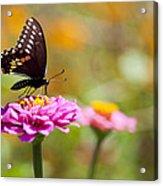 Butterfly On Pink Zinnia Acrylic Print