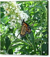 Butterfly On The Butterfly Bush Acrylic Print