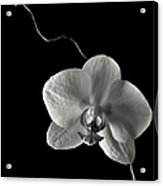 Butterfly Orchid In Black And White Acrylic Print