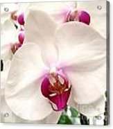 Butterfly Orchids Closeup Acrylic Print