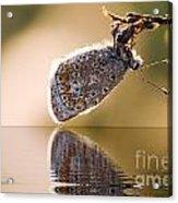 Butterfly Reflection Acrylic Print