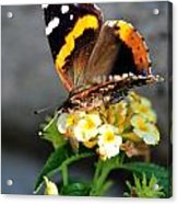 Butterfly Sipping Lantana Luscious Lemonade   Acrylic Print