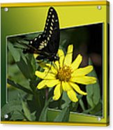 Butterfly Swallowtail 01 16 By 20 Acrylic Print