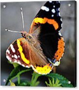 Butterfly Tai Chi On Lantana Luscious Lemonade Acrylic Print