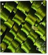 Butterfly Wing Scales Acrylic Print