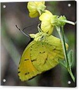 Butterfly - Yellow Sulphur On Yellow Acrylic Print