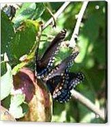 Butterfly4 Acrylic Print