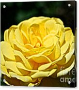 Buttery Rose Acrylic Print