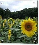 Buttonwoods Sunflowers Acrylic Print by Jason Sawicki