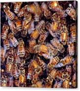Buzz Acrylic Print