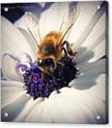 Buzz Wee Bees Lll Acrylic Print by Lessie Heape