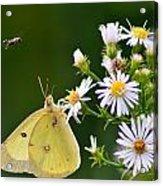 Buzzed Butterfly Acrylic Print