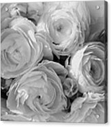 Cabbage Roses Acrylic Print