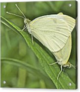 Cabbage White Butterflies 5267 Acrylic Print