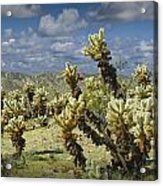 Cactus Also Called Teddy Bear Cholla Acrylic Print