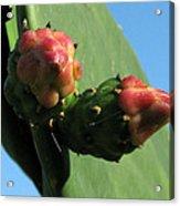 Cactus Buds Acrylic Print